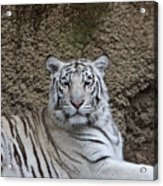 White Tiger Resting Acrylic Print