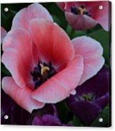 White Tip Pink Tulip Acrylic Print