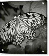 White Tree Nymph - 6 Acrylic Print