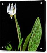 White Trout Lily Acrylic Print