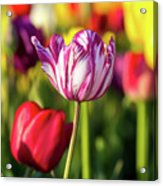 White Tulip Flower With Pink Stripes Acrylic Print
