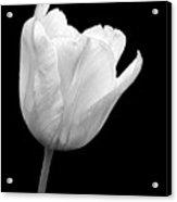 White Tulip Open Acrylic Print