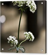 White Valerian Acrylic Print