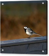 White Wagtail 1 Acrylic Print