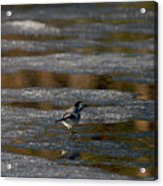 White Wagtail 4 Acrylic Print