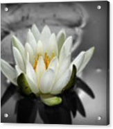 White Water Lily Black And White Acrylic Print