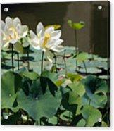White Waterlilies Acrylic Print