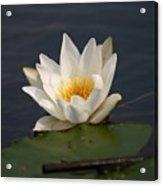 White Waterlily 1 Acrylic Print