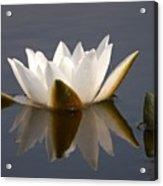 White Waterlily 2 Acrylic Print