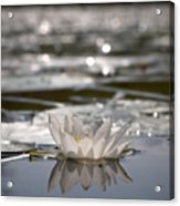 White Waterlily 3 Acrylic Print