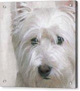 White West Highland Terrier Westie Acrylic Print