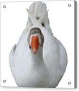White Wild Duck Sitting Background Removed Acrylic Print