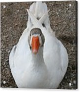 White Wild Duck Sitting On Gravel Acrylic Print