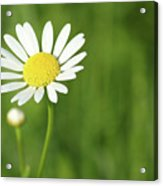 White Wild Flower Spring Scene Acrylic Print