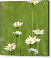 White Wild Flowers Nature Spring Scene Acrylic Print