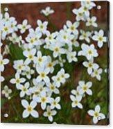 White Wildflowers Acrylic Print
