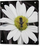 White With Bee Acrylic Print