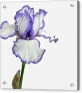 White With Purple Trim Bearded Iris  Acrylic Print