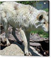 White Wolf 1 Acrylic Print