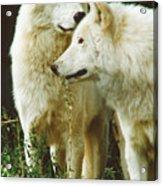 White Wolf Pair Acrylic Print