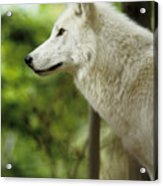 White Wolf Stare Acrylic Print