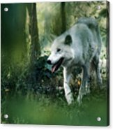 White Wolf Walking In Forest Acrylic Print
