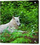 White Wolfe Acrylic Print