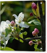 White Woodland Crabapple Flowers Acrylic Print