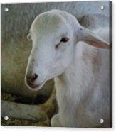 White Wool Acrylic Print