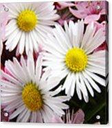White Yellow Daisy Flowers Art Prints Pink Blossoms Acrylic Print