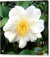 White-yellow Flower. Little Sun Acrylic Print