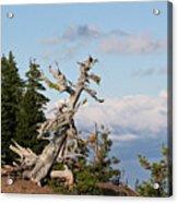 Whitebark Pine At Crater Lake's Rim - Oregon Acrylic Print