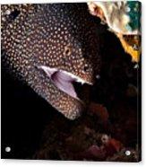 Whitemouth Moray Eel Acrylic Print