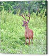 Whitetail Deer 4 Acrylic Print