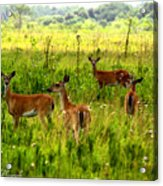 Whitetail Deer Family Acrylic Print
