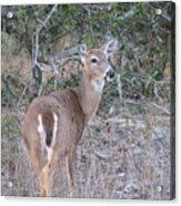 Whitetail Deer II Acrylic Print