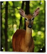 Whitetail Doe Acrylic Print
