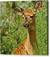 Whitetail Doe Painterly Acrylic Print by Ernie Echols