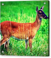 Whitetailed Deer Acrylic Print