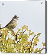 Whitethroat  Acrylic Print