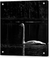 Whooper Swan In Bw 2 Acrylic Print