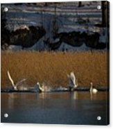 Whooper Swan Nr 12  Acrylic Print