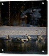 Whooper Swan Nr 13 Acrylic Print