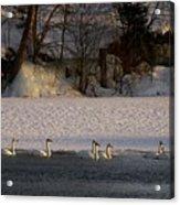 Whooper Swan Nr 14 Acrylic Print