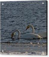 Whooper Swan Nr 2 Acrylic Print