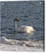 Whooper Swan Nr 3 Acrylic Print