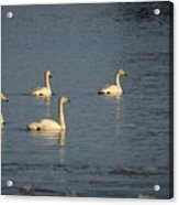 Whooper Swan Nr 8 Acrylic Print