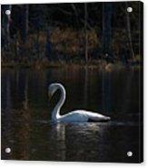 Whooper Swan Of Liesilampi 5 Acrylic Print