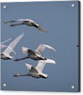 Whooper Swans In Flight Acrylic Print