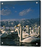 Whooper Swans In Winter Acrylic Print